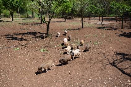 maialini che corrono - fattoria a trigoria