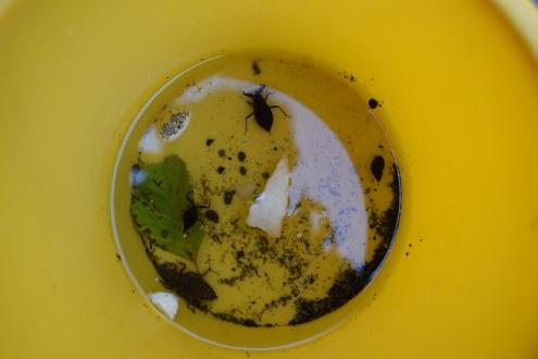 scorpione d'acqua